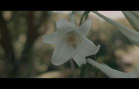 低垂的洁白百合花花朵高清实拍