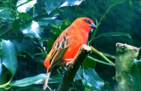 鸟儿站在绿叶树枝眺望远方高清实拍
