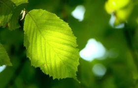 阳光森林微风浮动绿叶高清实拍