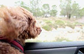 行驶中的汽车内一直看车窗外风景的狗