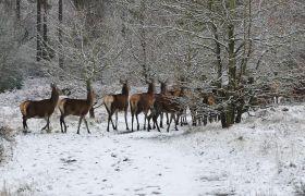 冬日森林雪景麋鹿迁徙高清实拍