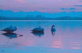 唯美光线水潭边悠闲天鹅高清实拍