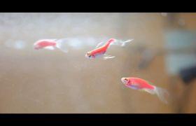 宠物小金鱼逆流游泳高清实拍