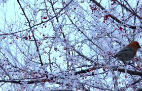 雪后鳥兒樹枝上覓食高清實拍