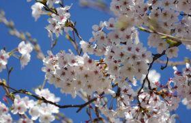春日蓝天下桃花怒放高清实拍