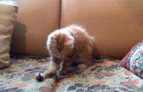 可愛小橘貓沙發上玩耍高清實拍