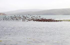 湖边留鸟迁移三五成群高清实拍