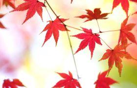 日本秋天红叶叶子特写高清实拍