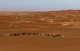 絲綢之路沙漠商隊駱駝高清實拍