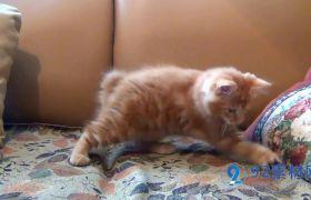 活潑可愛室內沙發寵物貓玩玩具高清實拍視頻素材