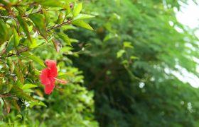树丛中一只芙蓉花随风摇曳特写实拍视频