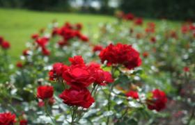 公园草坪旁华丽盛开的玫瑰花高清特写视频素材