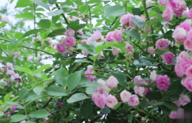 月季花风中摇曳高清实拍视频素材