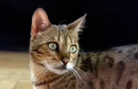 透明玻璃下实拍猫咪走路掉毛视频素材