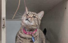 花色猫咪玩绳子高清实拍视频素材