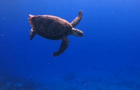 海龟在海洋里面自由自在的游泳高清实拍视频素材