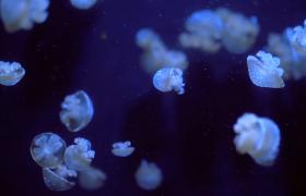 微距下发光的水母在海洋里游动实拍视频素材