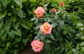玫瑰花在微風中搖擺高清實拍視頻素材