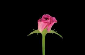 高清实拍玫瑰花在黑色的背景下绽放视频素材