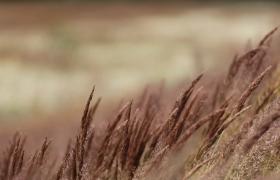 近距离拍摄秋天的草在风中摇曳视频素材