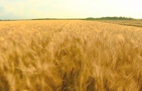 高清实拍农业农田大丰收视频素材