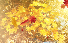 阳光照射秋天金黄色的树叶视频素材