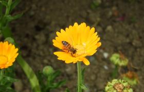 蜜蜂在黄色的小雏菊上采蜜高清实拍视频素材