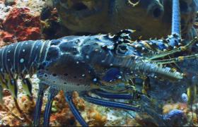 五彩斑斓的小龙虾在海底走动高清视频素材