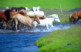 高清实拍蹦腾的马群争先恐后的过河视频素材