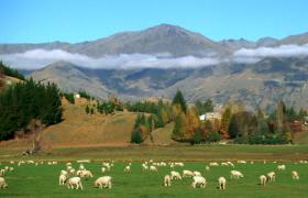 牦牛群与羊群在山脚下吃草视频素材免费下载