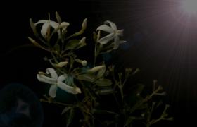 光束下白色花苞生长过程高清实拍
