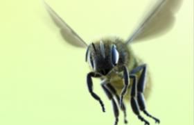 勤劳的小蜜蜂煽动翅膀翩翩起舞c4d模型(带绑定)