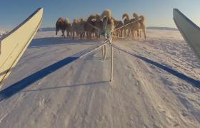 实拍大雪地上狗拉雪橇视频素材免费下载