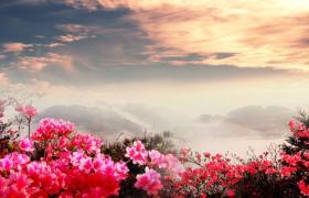 慢动作拍摄满山的杜鹃花与朝霞呼应背景视频素材