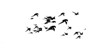 4款成群結隊黑色水墨飛鳥飛翔特效視頻素材下載