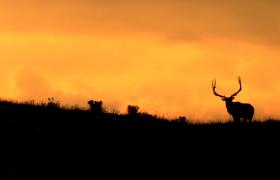 美丽夕阳下雄鹿剪影唯美实拍视频素材