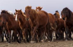 成群结对野马奔跑壮观场景实拍视频素材参考