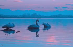 水光接天画面炫丽三只天鹅水中嬉戏实拍视频素材