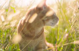 阳光下草间四处观望慵懒小猫咪实拍视频素材