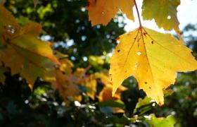 秋季阳光照射枫叶被染成黄色唯美风景实拍视频素材