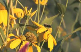 高清实拍蜜蜂花间采蜜近景拍摄视频素材下载