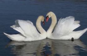 高清实拍两只白天鹅水中相互触碰唯美爱情视频素材