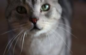 摇头晃脑可爱银猫实拍视频素材参考