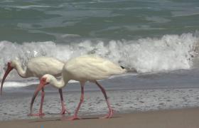 海浪翻滚海鸟海滩觅食实拍视频素材参考
