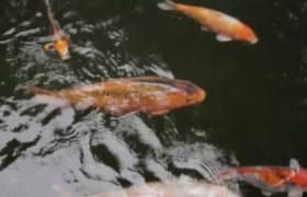 高清实拍水中自由游动的金鱼视频素材参考