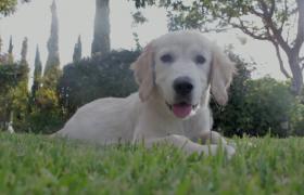 可爱小狗趴在绿色草地上实拍视频素材