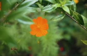 虛實拍攝綠葉襯托下搖曳的橙色小花朵視頻素材