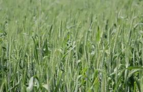 高清实拍微风拂过绿色稻田视频素材下载