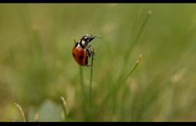 实拍红色七星瓢虫屹立于草尖高清视频参考