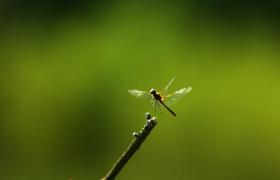 高清实拍蜻蜓在草尖上起飞瞬间素材下载